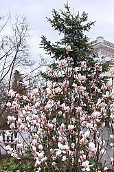 Magnolia and spruce